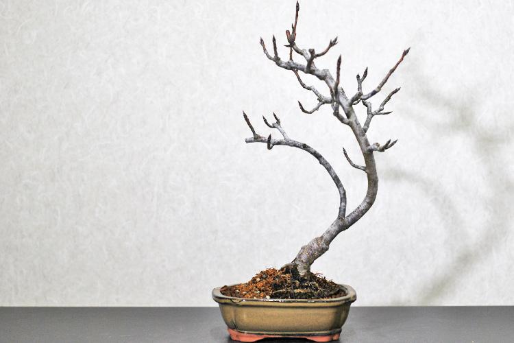 山梨(ヤマナシ)盆栽 植え替え完了