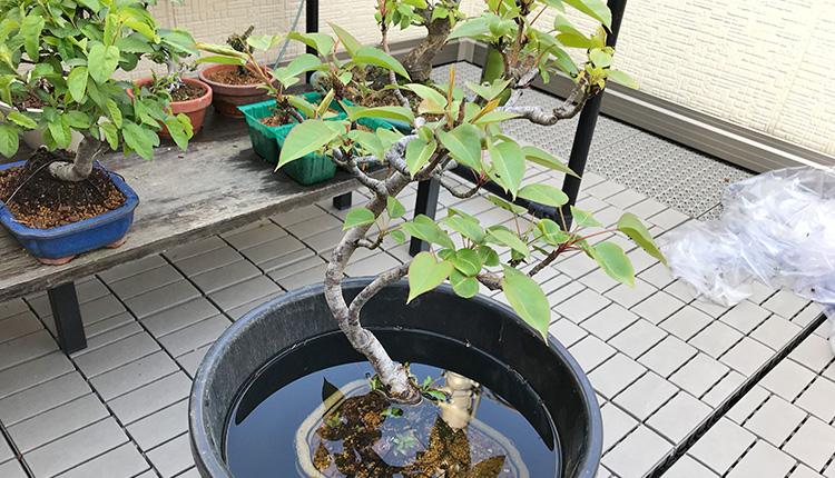 ヤマナシ盆栽のストマイドブ漬け