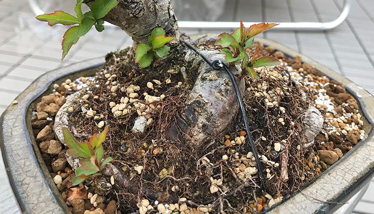 ヤマナシ盆栽のひこばえ