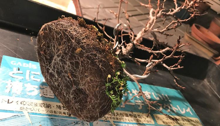 イワシデ盆栽 植え替え