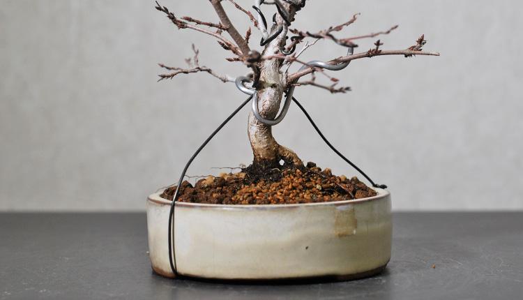イワシデ盆栽 植え替え 足