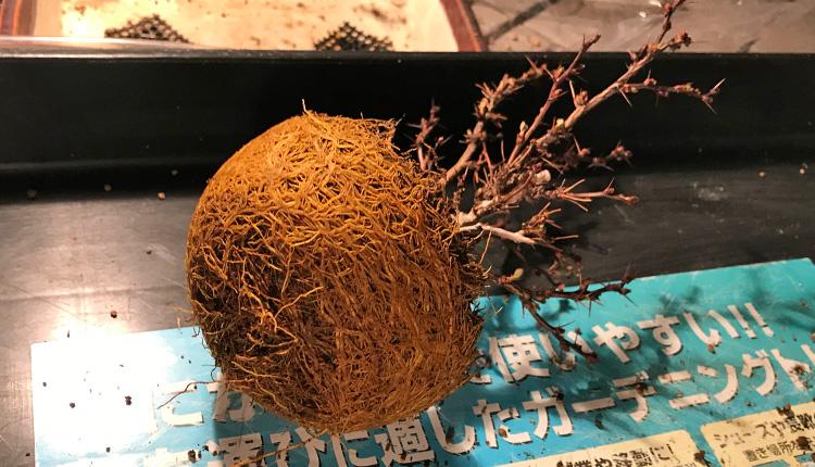 メギ盆栽 植え替え