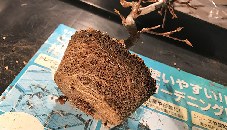 トウカエデ盆栽 植え替え
