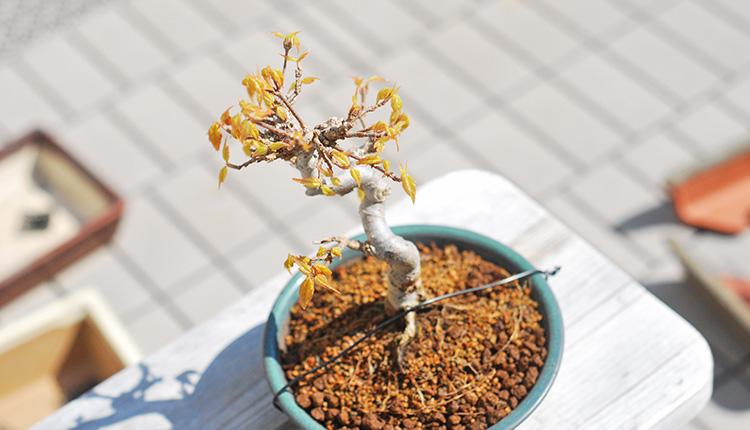 トウカエデ盆栽 新葉
