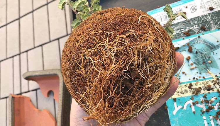 磯山椒盆栽 植え替え