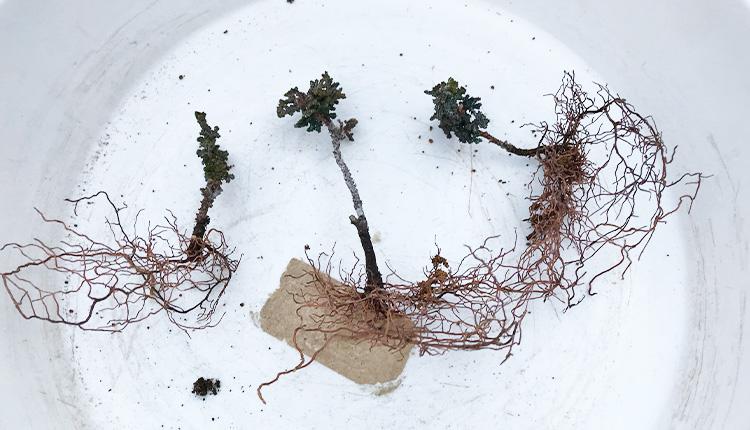 石化ヒノキ 発根した挿し穂