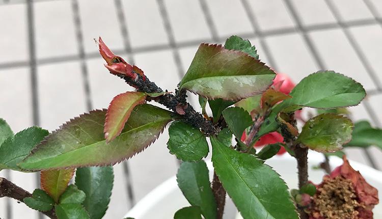 バラ科長寿冠の新芽にワタアブラムシ