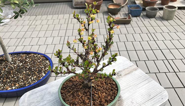 メギ盆栽の開花