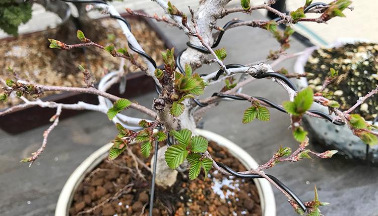 イワシデ盆栽の新葉