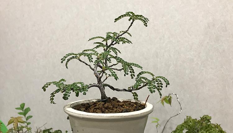 磯山椒盆栽 落葉から持ち直し