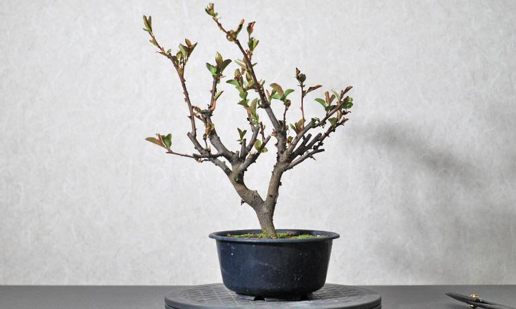 長寿冠 薬害で葉が生え変わる