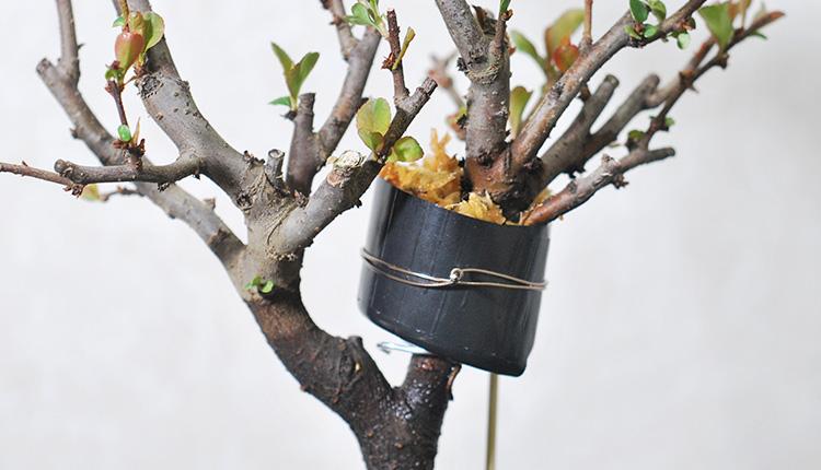 長寿冠盆栽の取り木開始姿