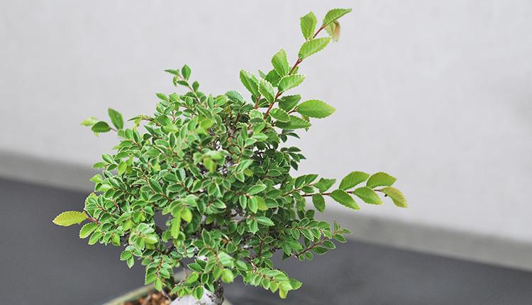 キンメニレケヤキ 新芽がすごい伸びる