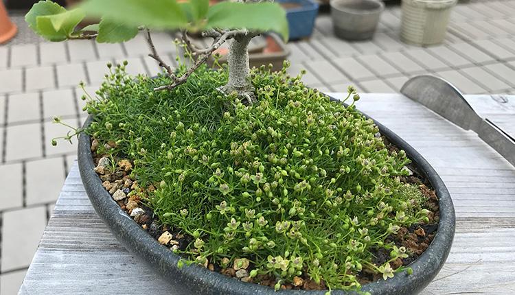 エノキ盆栽 雑草びっしり