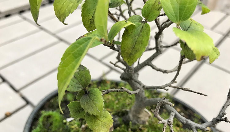 エノキ盆栽 すす病?