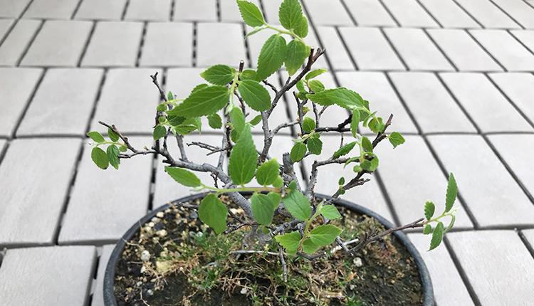 エノキ盆栽、葉枯れからの復活