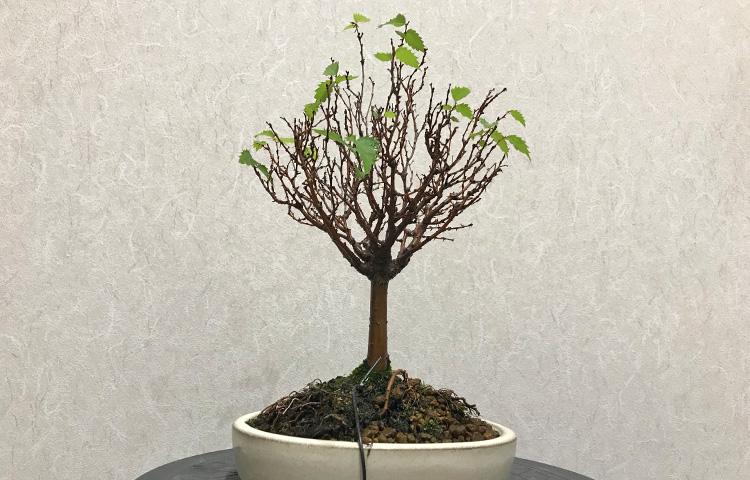 ケヤキ盆栽 2番目芽切り