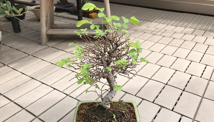 金芽ニレケヤキ盆栽、全葉枯れから復活