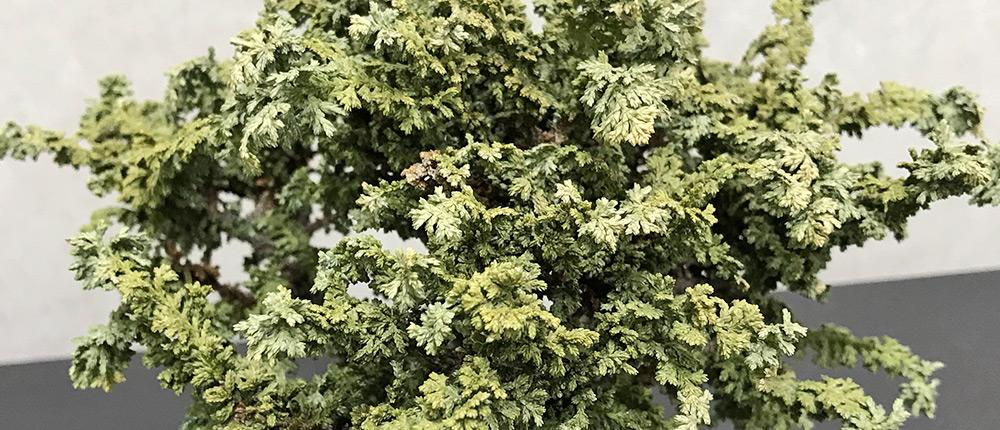 石化ヒノキ盆栽、水切れによる枯死