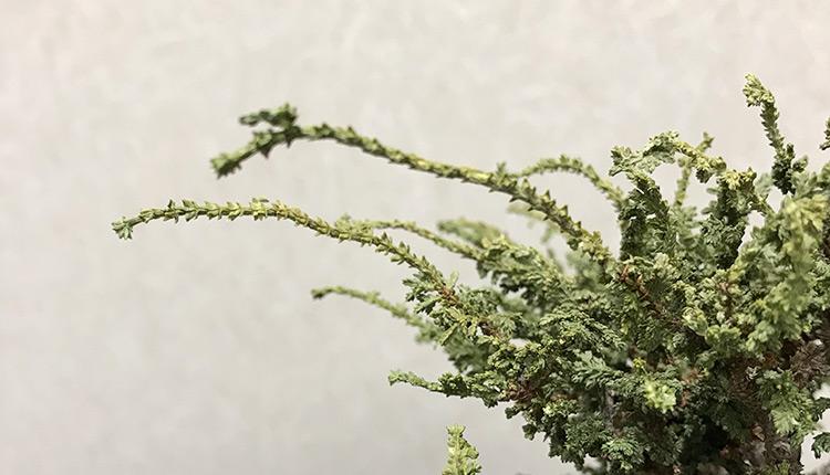 石化ヒノキ盆栽、枯れた葉を落とす