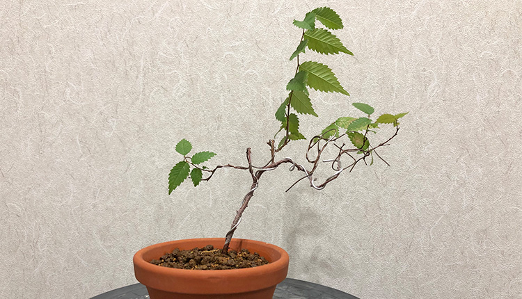 ケヤキ盆栽 挿し木