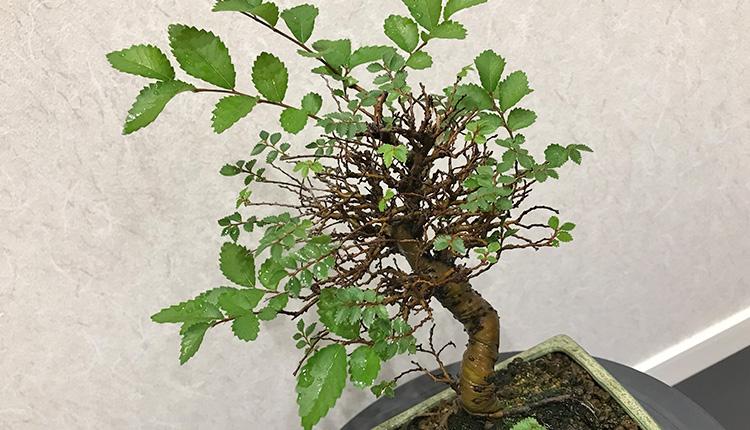 金芽ニレケヤキの樹形がボロボロに