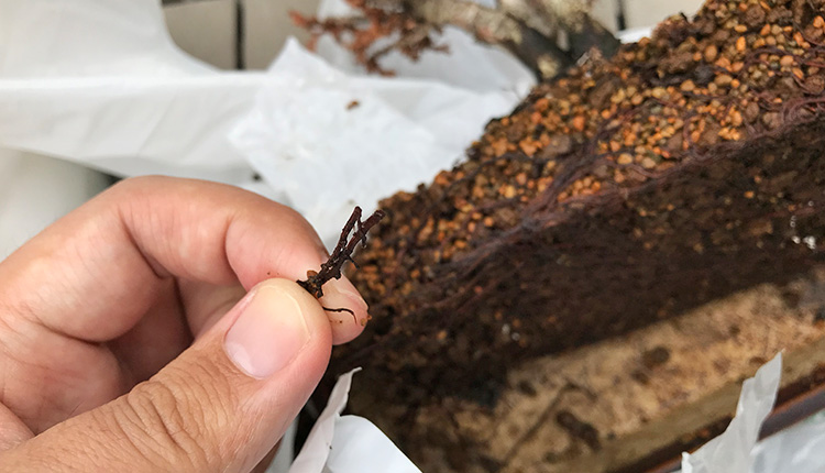 石化ヒノキ盆栽の枯死