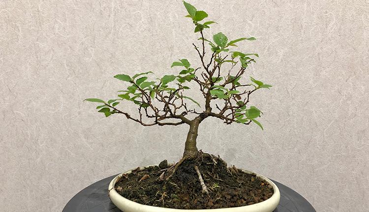 エノキ盆栽 2番芽切り