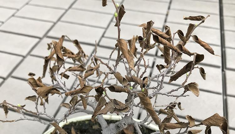 エノキ盆栽 全葉枯と葉芽