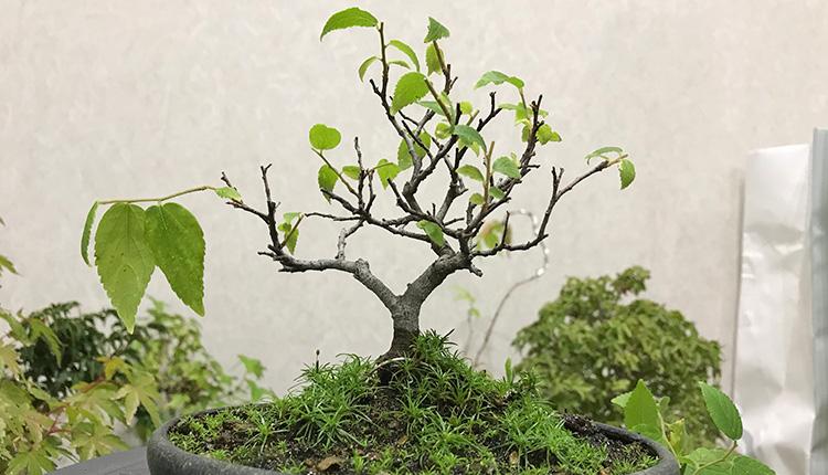 エノキ盆栽