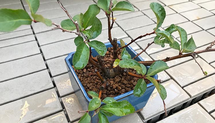 長寿冠の取り木 植え付け