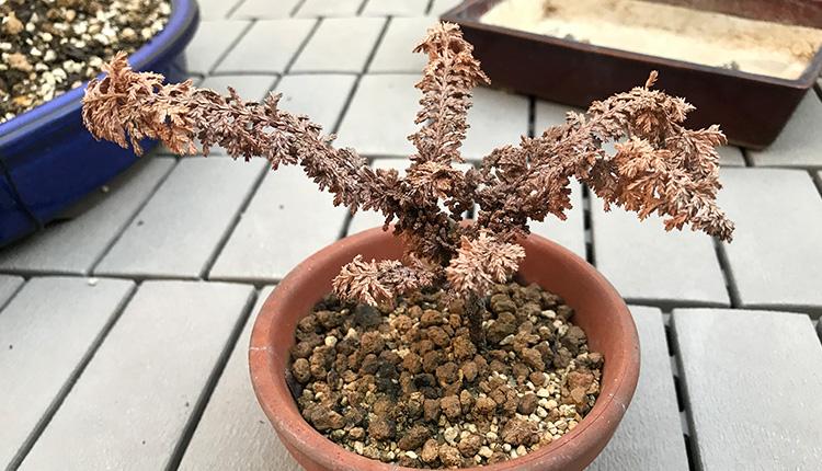 石化ヒノキ 挿し穂 枯死