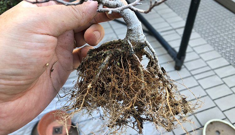 榎盆栽 根捌き