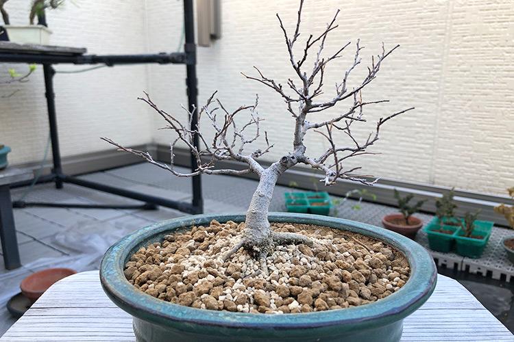 榎盆栽 植え替え