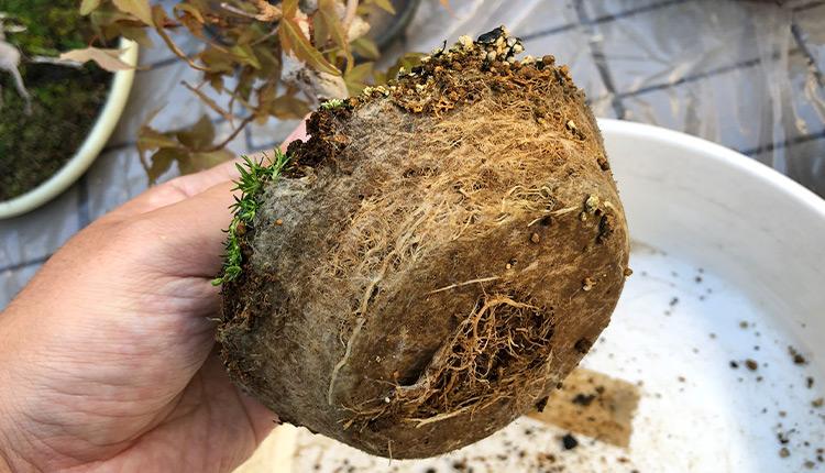 トウカエデ盆栽植え替え